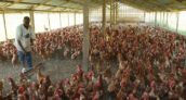 Producers Of Poultry Products Lament Shortage Of Feed.