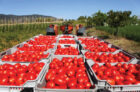 Tomato Production In Ghana.